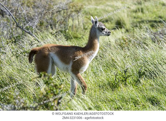 A baby (chulengo) guanaco (Lama guanicoe) in Torres del Paine National Park in southern Chile
