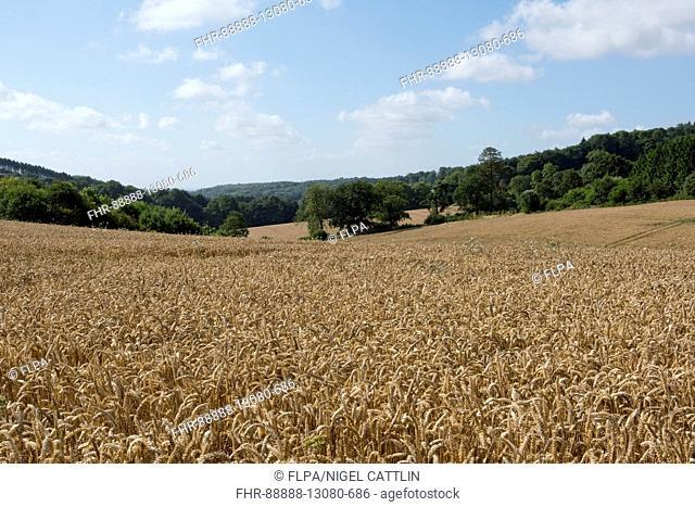 Development of a winter wheat crop from seedling to harvest, summer golden ear. Berkshire, August