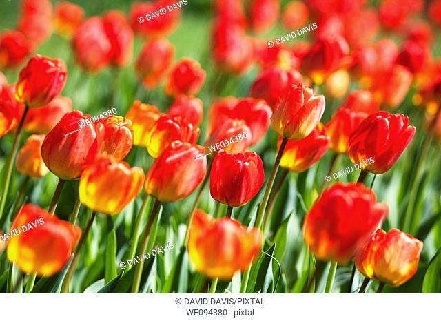 A beautiful Spring time garden of red tulips