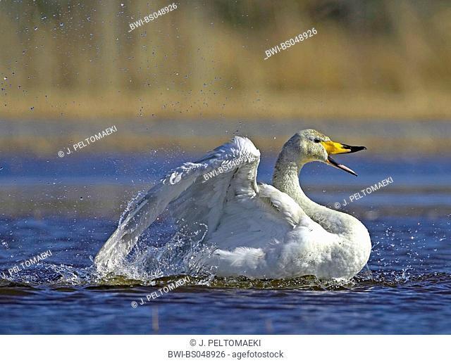 whooper swan (Cygnus cygnus), bathing, Finland