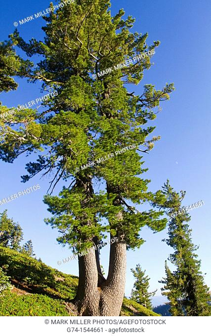 Forest at Lassen Volcanic National Park, California, USA