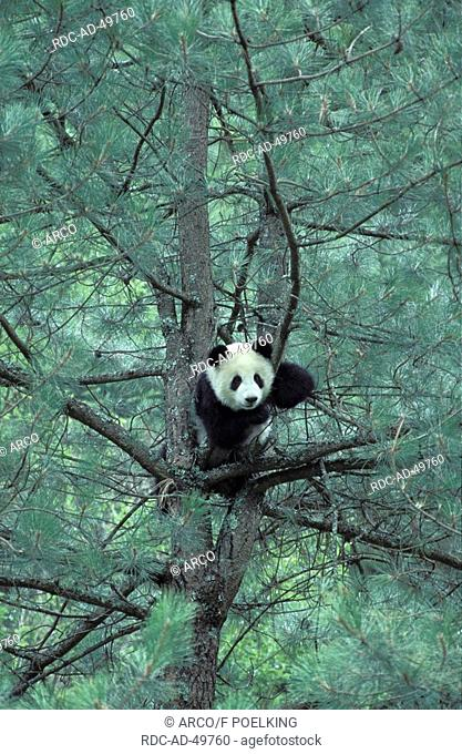 Giant Panda in tree Ailuropoda melanoleuca