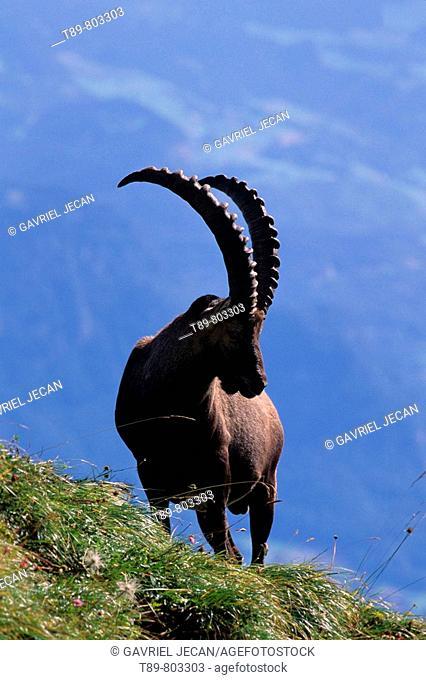 Ibex Capra ibex on the readge in the Swis Alps