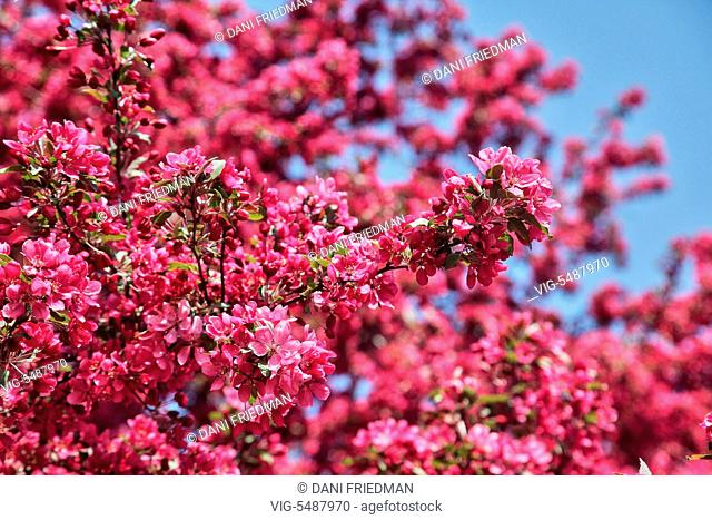 Dark-pink flowers bursting into bloom on a crabapple (Malus) tree growing in Markham, Ontario, Canada. - MARKHAM, ONTARIO, CANADA, 22/05/2016