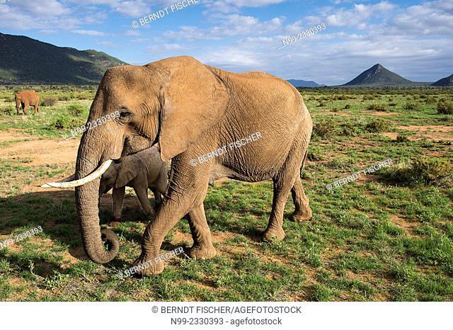 African elephant (Loxodonta africana), cow with cub, Samburu National Reserve, Kenya