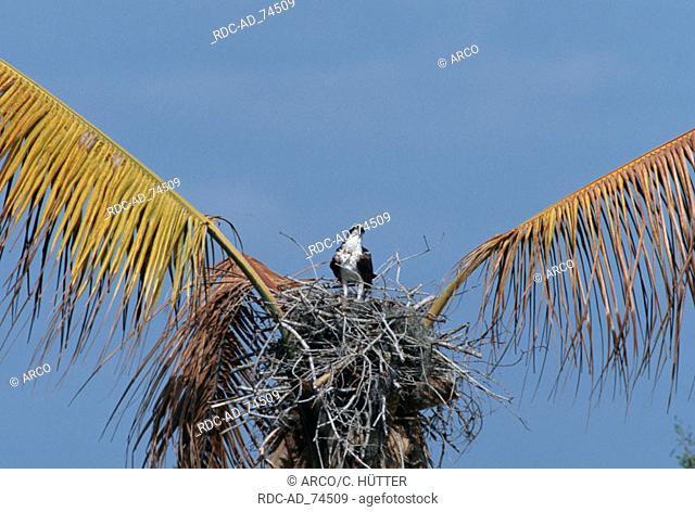 Osprey at nest Everglades national park Florida USA Pandion haliaetus