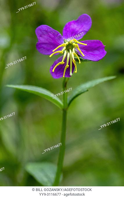 Virginia Meadow Beauty Flower (Shallow Depth-of-Field) - DuPont State Recreational Forest, near Brevard, North Carolina, USA