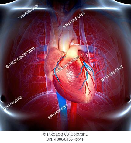 Cardiovascular system, computer artwork