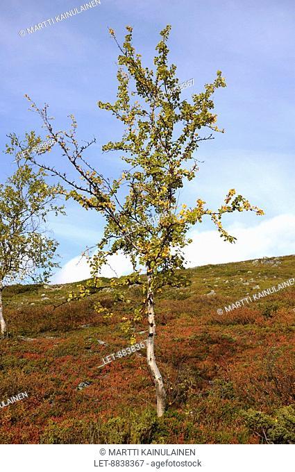 Dwarf birches at the Saana-fjeld in Kilpisjärvi, Finland