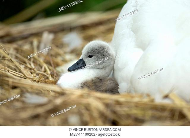 Mute Swan cygnet at nest with mother providing warmth and protection Norfolk, UK