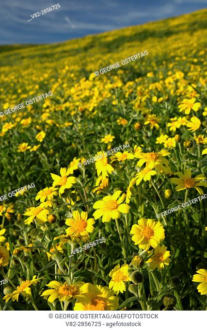 Coreopsis, Carrizo Plain National Monument, California