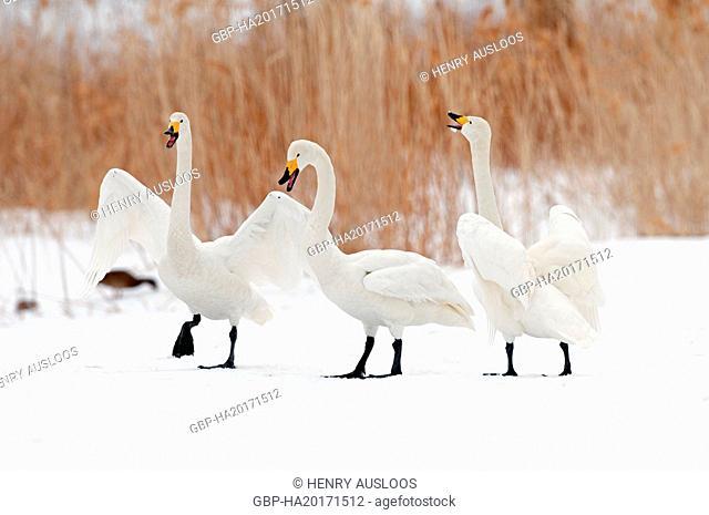 Whooper swan (Cygnus cygnus) singing, Japan