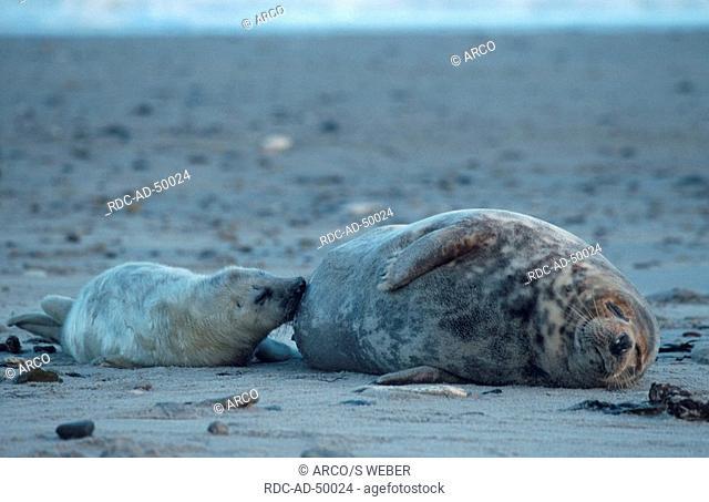 Grey Seal nursing pup Helgoland Schleswig-Holstein Germany Halichoerus grypus