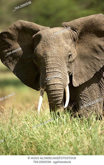 African elephant. Loxodonta africana. Tarangire, Tanzania