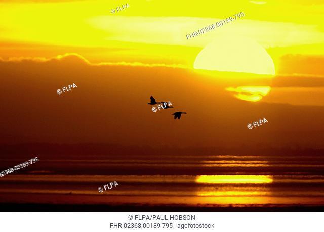 Barnacle Goose Branta leucopsis three, in flight, silhouetted at sunrise, Caerlaverock W W T , Dumfries, Scotland, march