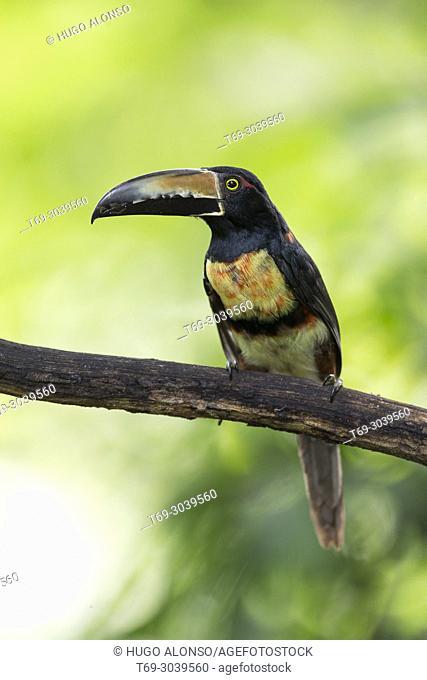 Collared Aracari. Pteroglossus torquatus. Costa Rica