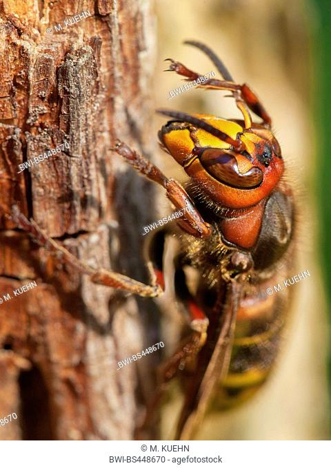 hornet, brown hornet, European hornet (Vespa crabro), on dead wood, Germany, Bavaria