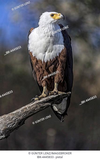 African fish eagle (Haliaeetus vocifer), Chobe National Park, Botswana
