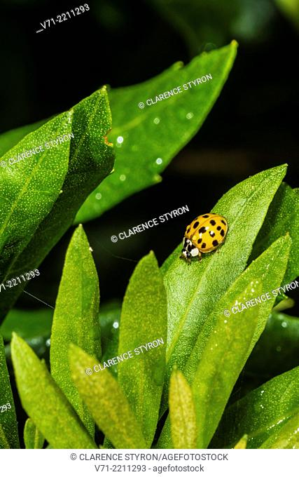 Asian Multicolored Lady Beetle Harmonia axyridis on Wax Myrtle Myrica cerifera Leaf