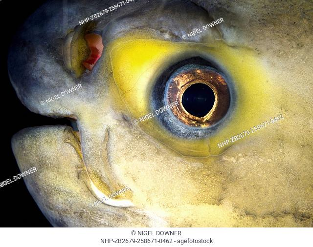 Close-up abstract of the face and eye of a Pacu fish (Colossoma bidens) in a sea-life centre in Bournemouth Dorset