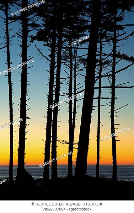 Sitka spruce sunset, Cape Lookout State Park, Oregon
