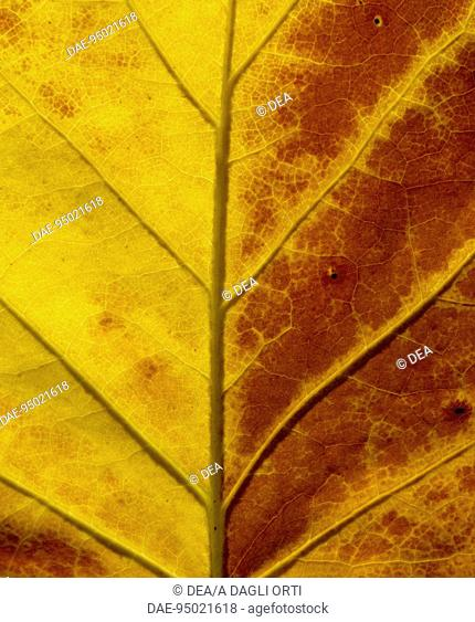 Tulip Tree leaf (Liriodendron tulipifera), Magnoliaceae. Detail