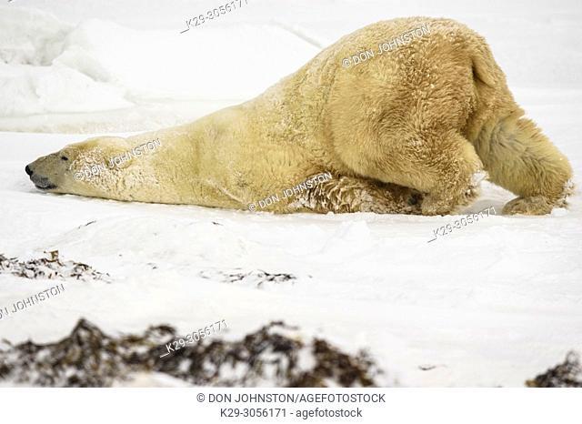Polar Bear (Ursus maritimus) Grooming behaviour, Wapusk NP, Cape Churchill, Manitoba, Canada