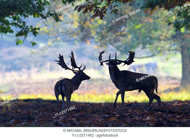 Fallow Deers (Cervus dama) at Rutting season, Hesse, Germany, Europe