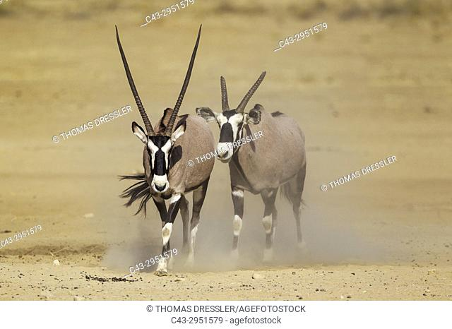 Gemsbok (Oryx gazella). Male with crippled horns follows a female. Kalahari Desert, Kgalagadi Transfrontier Park, South Africa