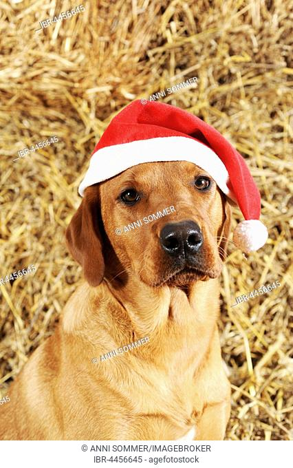 Labrador Retriever, dog, yellow, with Santa hat