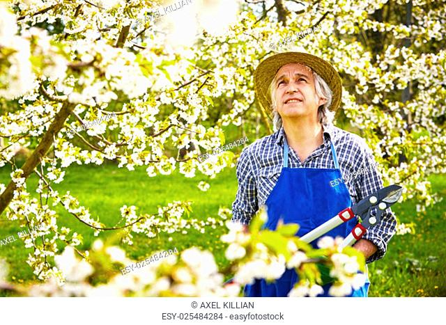 man cuts cherry tree in blossom