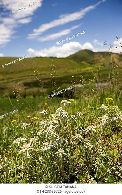 Edelweiss flowers on the highland, Shangri-la, China