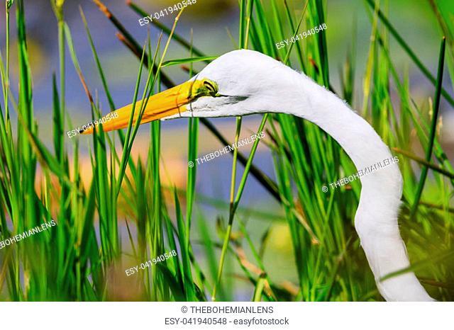 A Great Egret wades through the swamp grass at Everglades National Park, Florida, November 2017