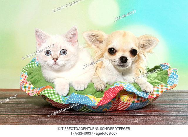 British Shorthair Kitten and Chihuahua