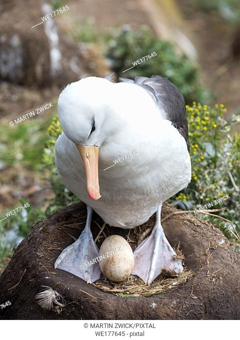 Adult with egg on tower shaped nest. Black-browed albatross or black-browed mollymawk (Thalassarche melanophris). South America, Falkland Islands, January