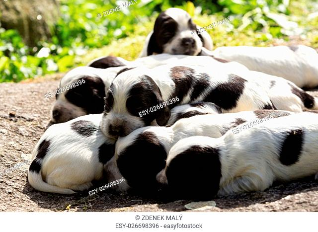 English Cocker Spaniel puppies, 14 days old dogs outdoor on garden rock