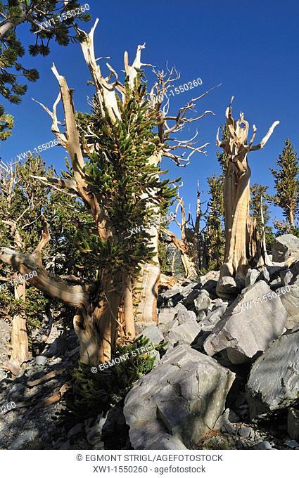 weathered ancient bristlecone pine pinus longaeva at Mount Wheeler, Great Basin National Park, Nevada, USA, North America