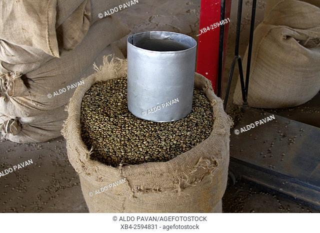 Coffee beans, Gundlupet, Karnataka, India
