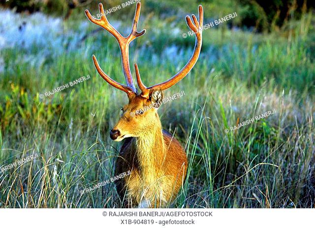 Barasingha Central Hardground or Swamp Deer Cervus Duvaucelii Branderi in Kanha National Park, Madhya Pradesh, India