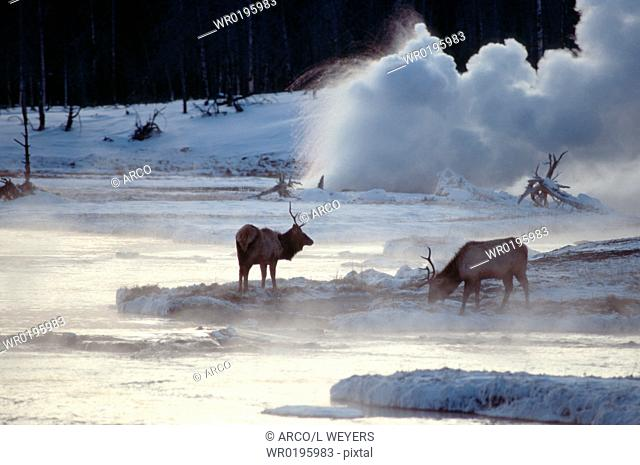 Elks, and, geyser, Biscuit, Basin, Yellowstone, national, park, Wyoming, USA, Cervus, canadensis