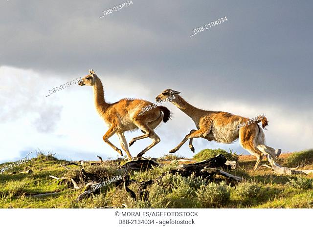 Chile,Patagonia,Magellan Region,Torres del Paine National Park,Guanaco (Lama guanicoe),fighting