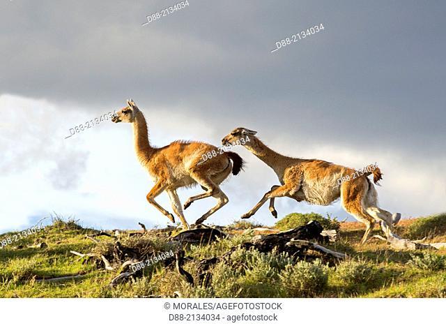 Chile,Patagonia,Magellan Region,Torres del Paine National Park,Guanaco (Lama guanicoe),fighting