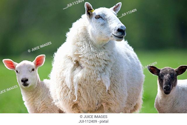 Portrait sheep and lambs