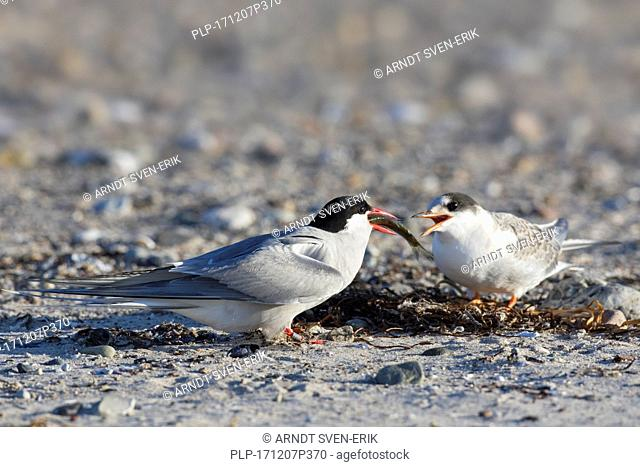Arctic tern (Sterna paradisaea) feeding fish to chick on beach in summer