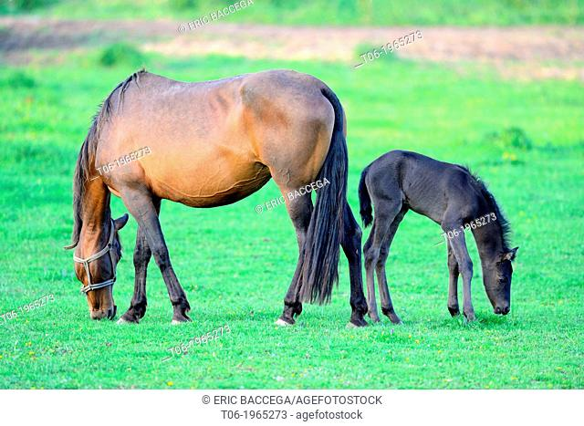 Pure Spanish bred horse, mare and 5 days old foal (Equus caballus) in the field. Alsace, France