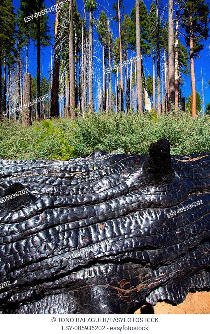 burned charred redwood trunk in Yosemite Mariposa grove California