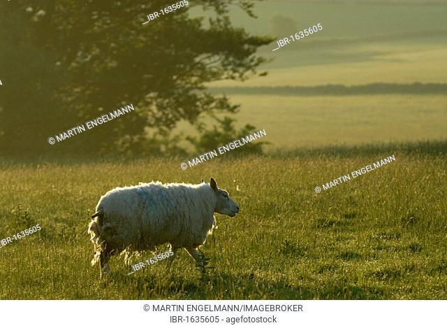 Sheep, Cheddar, Somerset, England, United Kingdom, Europe