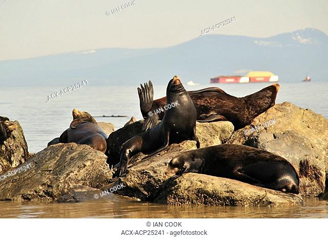 California sea lions Zalophus californianus on breakwater at mouth of Fraser River, Richmond, British Columbia, Canada