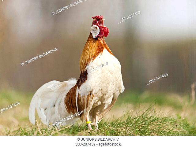 Rosecomb Chicken. Rooster crowing on a meadow. Germany