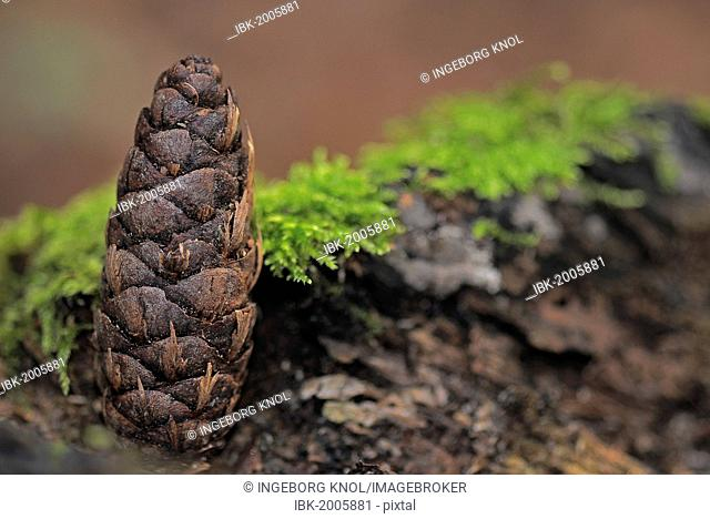 Pine cone of the Korean Fir (Abies koreana) in a forest, autumn motif